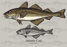 Cod fish (Atlantic cod) Royalty Free Stock Images
