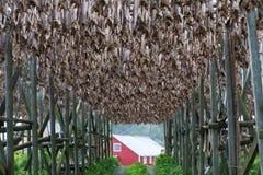 Cod fish at the drying racks and rorbu, Lofoten, Royalty Free Stock Image
