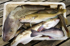 Cod fish Royalty Free Stock Image