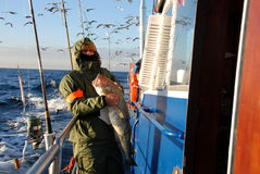 Cod fish - motorboat on Baltic Sea. A man standing in a motorboat, keeping cod fish Stock Images