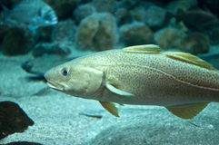 Cod fish swimming in aquarium Royalty Free Stock Photos