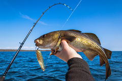 Cod fish for trolling. Spring trolling fishing for cod trophy Royalty Free Stock Photos