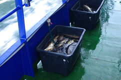 Cod fishes Royalty Free Stock Photo
