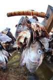 Cod's heads  hanging to dry Stock Photo