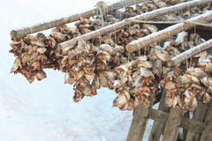 Cod's heads in Lofoten. Cod's head hanging to dry, lofoten islands stock photos