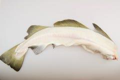 Cod skeleton. Cod fish white skeleton on white background Stock Photos