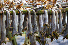 Cod stockfish.Industrial fishing in Norway Stock Photography