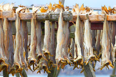 Cod stockfish.Industrial fishing in Norway Royalty Free Stock Image