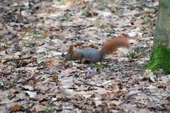 Coda ardente, scoiattolo rosso, coda rossa, dado del ` s di ricerca dello scoiattolo Immagine Stock Libera da Diritti