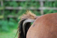 Coda dei cavalli immagini stock
