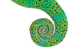 Coda del Chameleon della pantera Immagine Stock