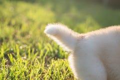 Coda del cucciolo del husky siberiano Fotografia Stock