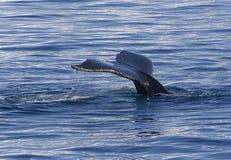 Coda del humpback Immagine Stock Libera da Diritti