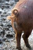 Coda del maiale Fotografia Stock