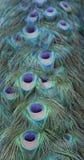 Coda del pavone Fotografia Stock