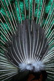 Coda del pavone Immagini Stock