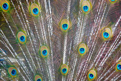 Coda del pavone Fotografia Stock Libera da Diritti