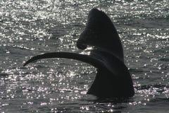 Coda del sud della balena di destra Fotografie Stock Libere da Diritti