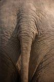 Coda dell'elefante Fotografia Stock
