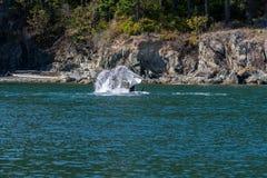 Coda dell'orca Fotografie Stock