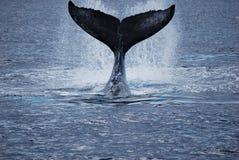 Coda della balena Fotografie Stock