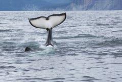 Coda della balena di assassino Fotografie Stock Libere da Diritti