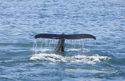Coda della balena di Humpback Fotografia Stock