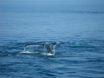 Coda della balena di Humpback Fotografie Stock
