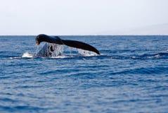 Coda della balena di Humpback Immagini Stock