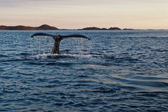 Coda della balena di immersione subacquea Fotografia Stock Libera da Diritti
