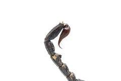 Coda dello scorpione isolata su fondo bianco Fotografia Stock