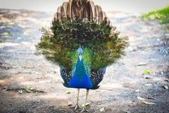Coda di manifestazione del pavone fotografie stock