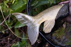 A coda di pesce Immagini Stock