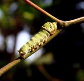 Coda di rondine Caterpillar dell'agrume Fotografie Stock