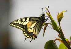 Coda di rondine del vecchio mondo della farfalla. Immagini Stock Libere da Diritti