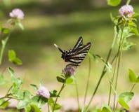 Coda di rondine della zebra (2) Fotografie Stock