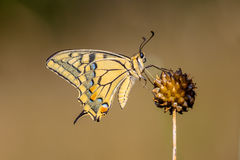 Coda di rondine (machaon di Papilio) che riposa sulla pianta dell'allium nel MOR Immagine Stock