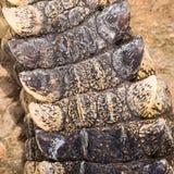 Coda di struttura di una pelle del coccodrillo Immagini Stock
