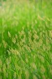 Coda di volpe del fiore Immagine Stock