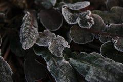 Coda di volpe del gelo fotografia stock libera da diritti