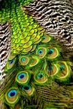 Coda e parte posteriore di un pavone Fotografie Stock Libere da Diritti