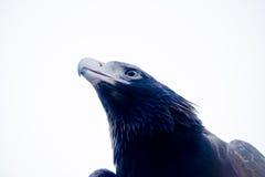 Coda Eagle del cuneo Fotografie Stock