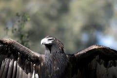 Coda Eagle del cuneo Fotografia Stock