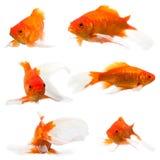Coda lunga del pesce rosso Immagine Stock