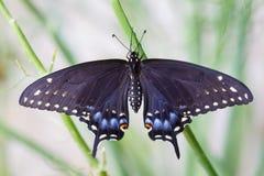 Coda nera del sorso che emerge da Chrysalis Fotografie Stock Libere da Diritti
