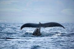 Coda perfetta della balena Fotografia Stock