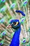 Coda-piume di diffusione del pavone Fotografia Stock Libera da Diritti