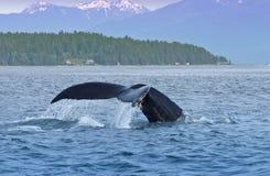 Coda posteriore della balena di Humped, natura, fauna selvatica Alaska Immagini Stock