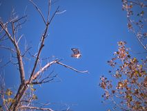 Coda rossa Hawk In Flight Late Autumn Fotografia Stock