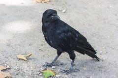 Codardo (corax di corvo) Parigi, Francia Immagini Stock Libere da Diritti